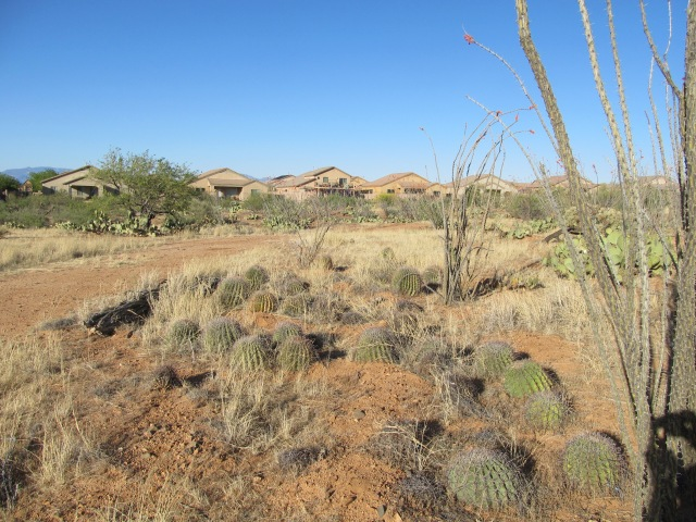 Transplanted Cacti on the 5-acre lot in Unit 8