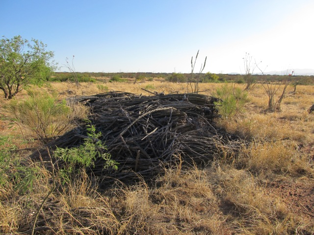 Dead ocotillo at the transplant site